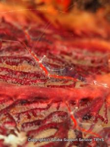 エビの身体がガラスのように透き通って綺麗なアカスジカクレエビ